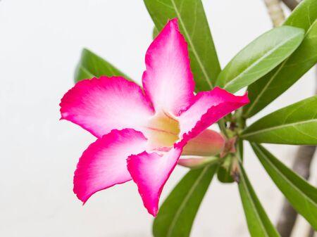 adenium: Adenium Flower