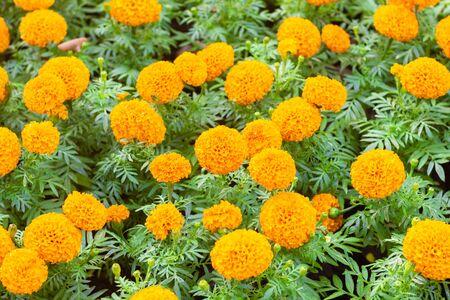 Marigold flower in the garden.