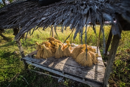 golden: golden wheat, Thailand