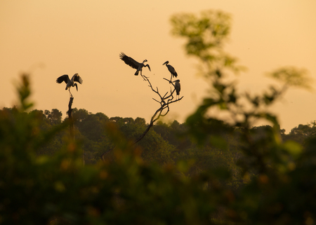 oscitans: silhouette Asian openbill on Sun rise background