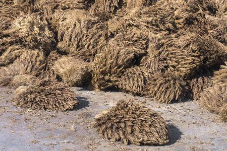 Olijfpalmvruchten die bij palmoliemolen worden verwerkt