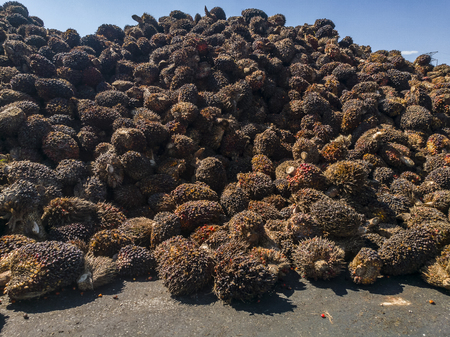 Oil palm fruits to be processed at palm oil mill Stock fotó