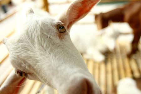 eyes opened: Portrait of white goat  with eyes opened