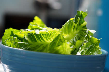romaine: Green salad cos romaine lettuce sliced in blue bowl