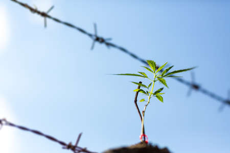 Marijuana plant seedling growing from seed  on a bright summer day. Close up. Stock Photo