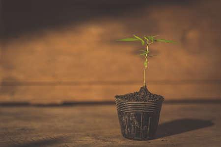 種からの成長マリファナ植物苗