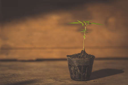 Marijuana plant seedling growing from seed