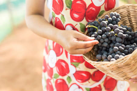 bough: Care vineyards, grapes Stock Photo