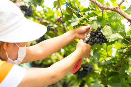 Care vineyards, grapes Reklamní fotografie