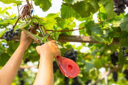 Care vineyards, grapes Stock Photo