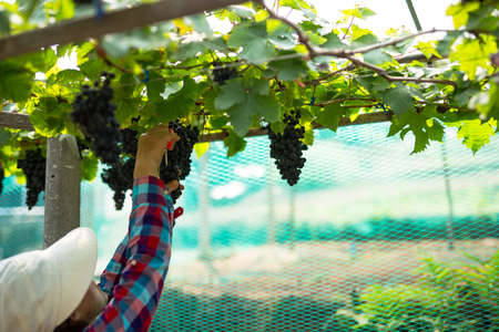 Care vineyards, grapes Stock Photo