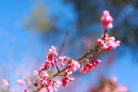 Soft focus Wild Cherry flower Giant tiger flowers in the garden in Thailand (Prunus cerasoides).