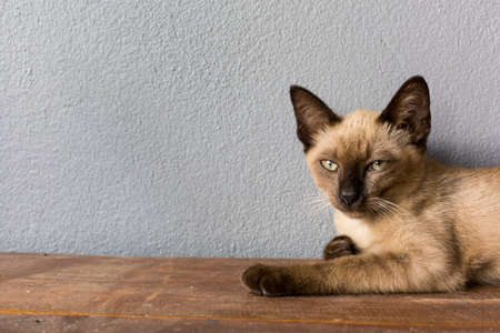grey cat: Brown cat lying on a wooden floor. Stock Photo