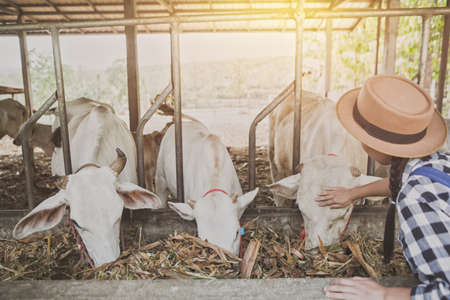 Everyday life for farmer with cows in the countryside.  Manual job with man feeding cattle in small farm.