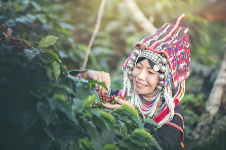 Akha farmers, women, smiling and picking a bunch of coffee beans from a coffee tree which is a coffee product of a tribe in northern Thailand