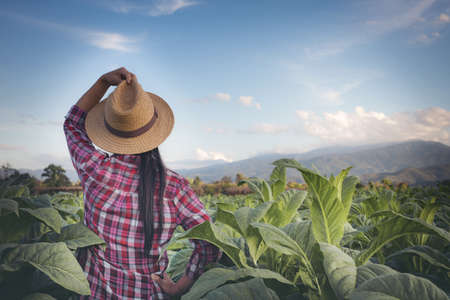 Agriculturist woman looks tobacco in the field. Reklamní fotografie