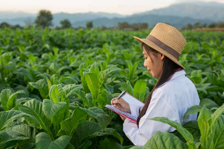 Female researchers examined tobacco leaves with a modern concept book.