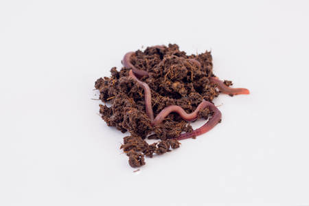 vermiculture: earth worms Stock Photo
