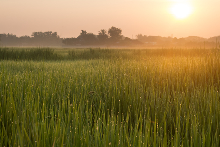 rice field in morning and sunrise background