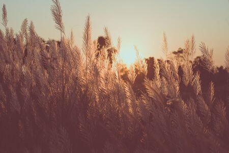 grass flower and sunset light in evening Foto de archivo