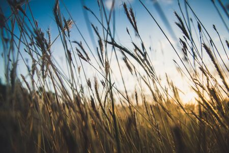 field grass close up and sunset background