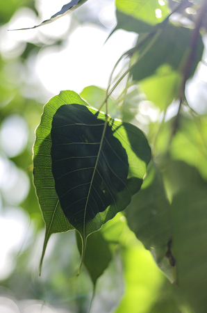 belive: Bodhi Leaf from the Bodhi tree, Sacred Tree for Hindus and Buddhist.
