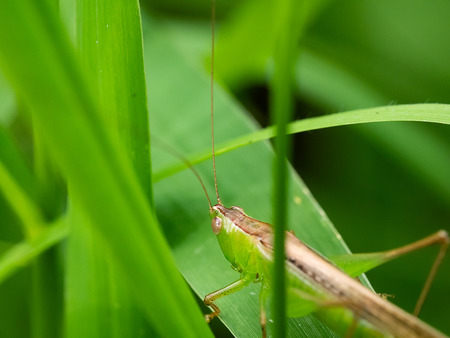 Green Cricket Insect on leaf.