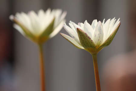 Two white lotus flower blossom photo