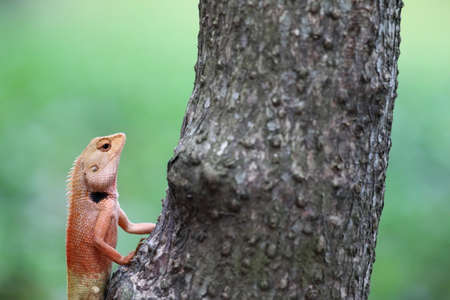 red lizard climb on tree  photo