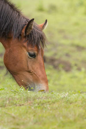 grazing horse in the meadow photo