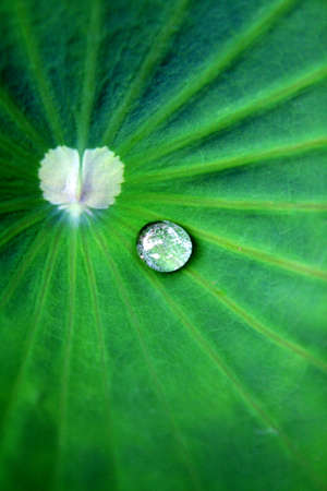 wetness: Water drop on lotus leaf