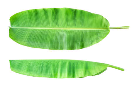 The top view and sides of the banana plant tree leaves on a white background.