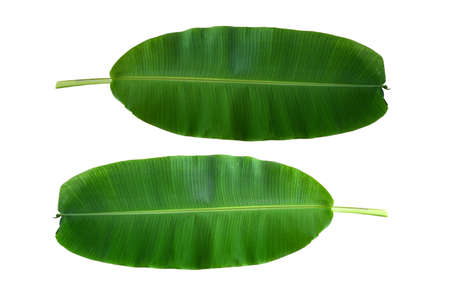 The top view of the banana leaves plant tree on a white background. Standard-Bild