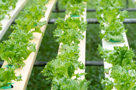 Lettuce growing in Organic hydroponic vegetable farm Greenhouse
