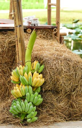 Bunch of bananas and dry straw texture background