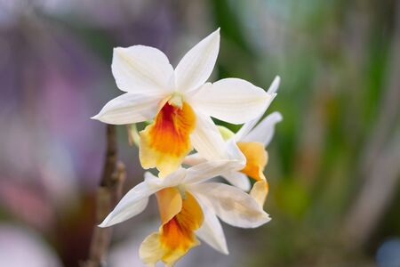 Beautiful white and orange orchid flowers blur background in the garden