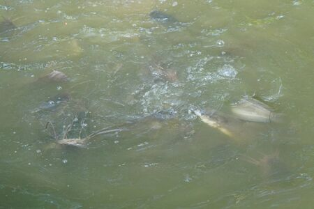 Group of fish swimming in a pool open mouth for oxygen air breathe, nature pond
