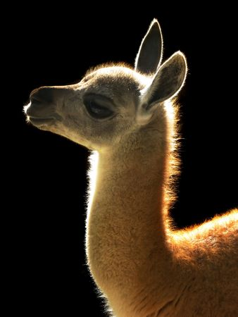 Portrait of a young brown alpaca on black background  photo
