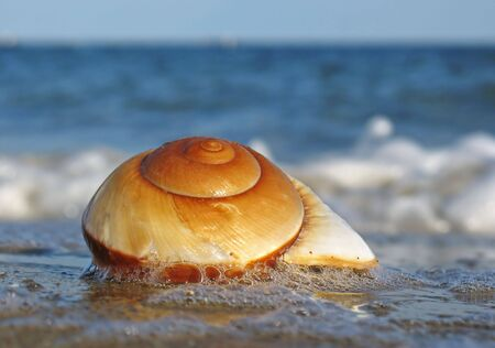 coquina: Shell on the beach