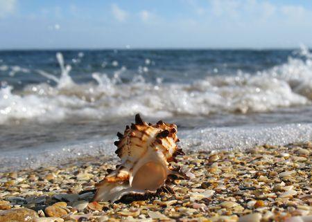 coquina: Shell on the Beach  Foto de archivo