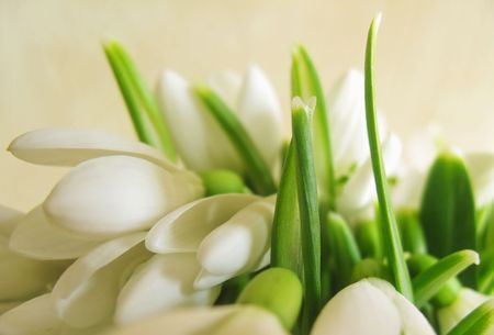Bouquet of white snowdrop flowers photo