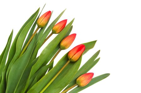 Red spring tulips on white background photo