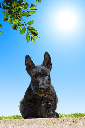 Scottish terrier puppy looking down against blue sky background. photo