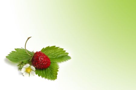 wild strawberry: Wild strawberry plant with green leaves and flower