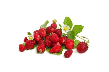 Wild strawberries plant with green leaves, , red and green berries on white background photo