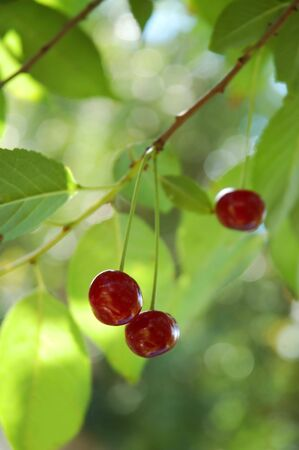 Sweet and juicily cherries on a tree. Selective focus. photo