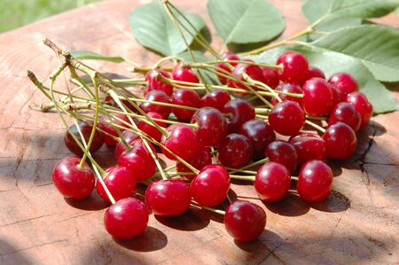 Sweet and juicily cherries heap on a tree . photo