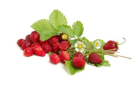 Wild strawberries plant with green leaves, flower, red and green berries on white background