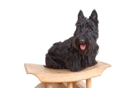 Scottish terrier puppy sitting on a wood chair against white background. Stock Photo - 4066393