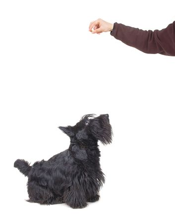 dog sled: A male caucasian white hand feeding a scottish terrier Stock Photo